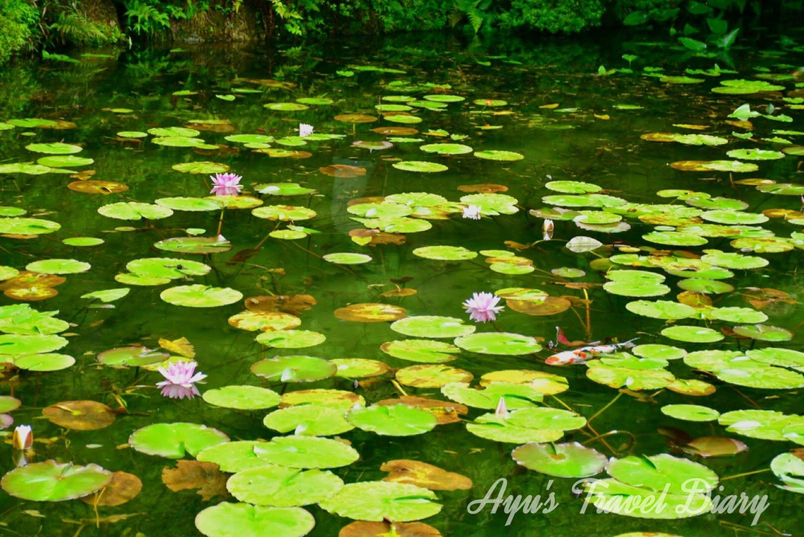 幻想的な景色に感動。睡蓮の池=「モネの池」